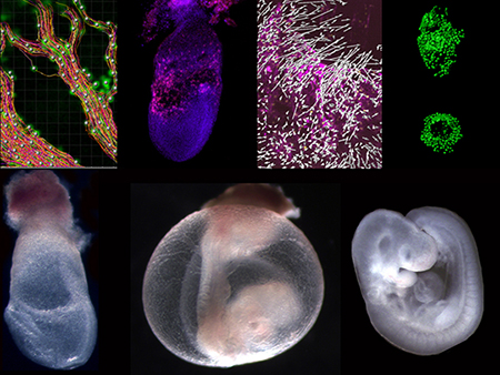Multipanel microscopic images showing blood flow, blood vessel cells, and mouse embryos